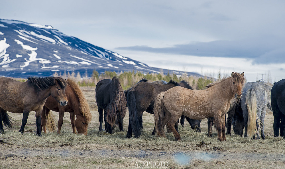 Icelandic Horses; They can be seen driving any length of Rt. 1.