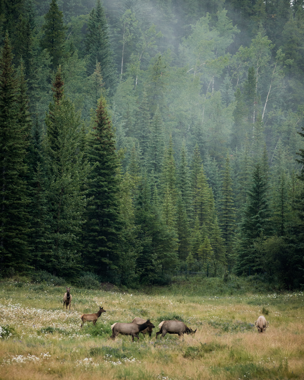 Elk in the forest