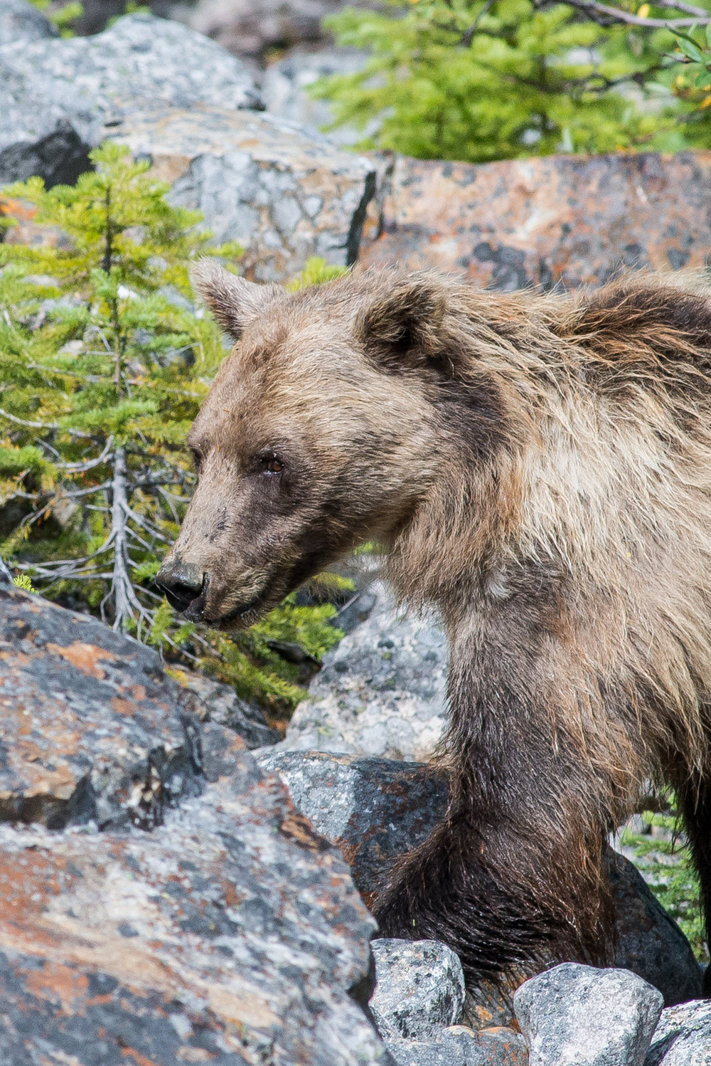 Grizzly Bear at Mount Edith Cavell