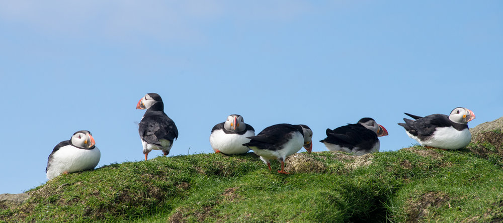 Puffins in a Line.jpg