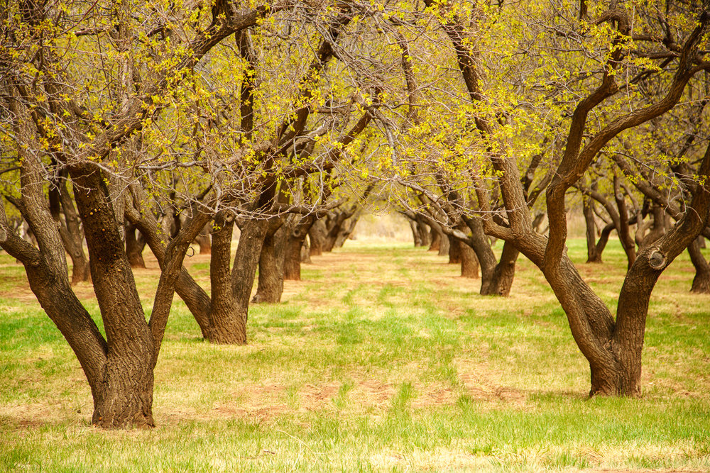 Orchard in Capitol Reef.jpg