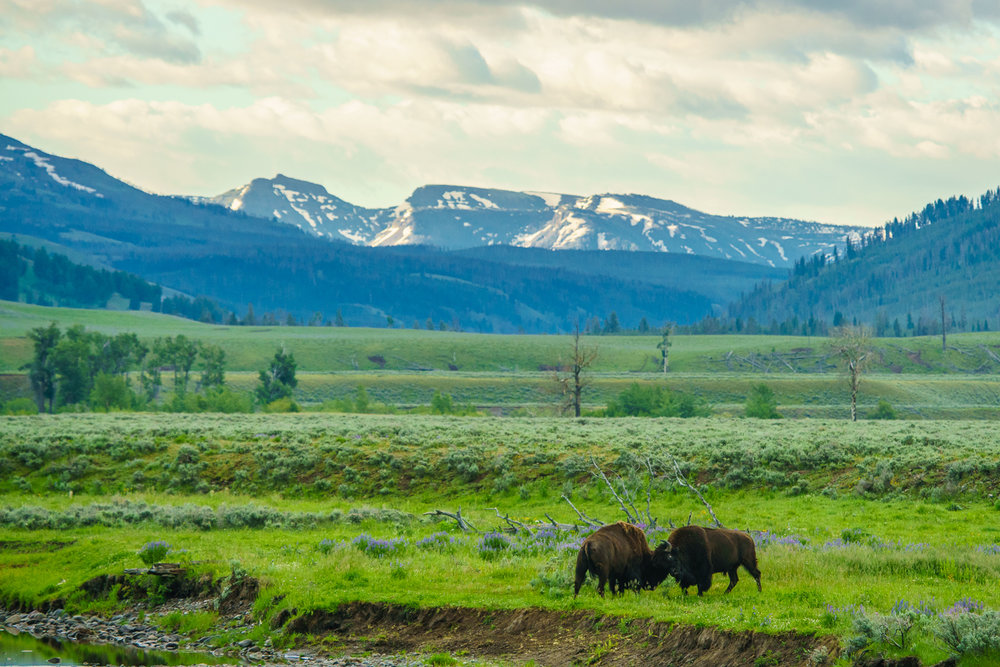 The iconic shot: two bison males battling it out in front of a mountain scene. The running joke on this trip, which still has me laughing, is we would try to name the big males. These two are dubbed Kendrick Lamar (for Lamar Valley) and Mark Buffalo, courtesy of Paul's sense of humor. ⓒ Paul Nguyen