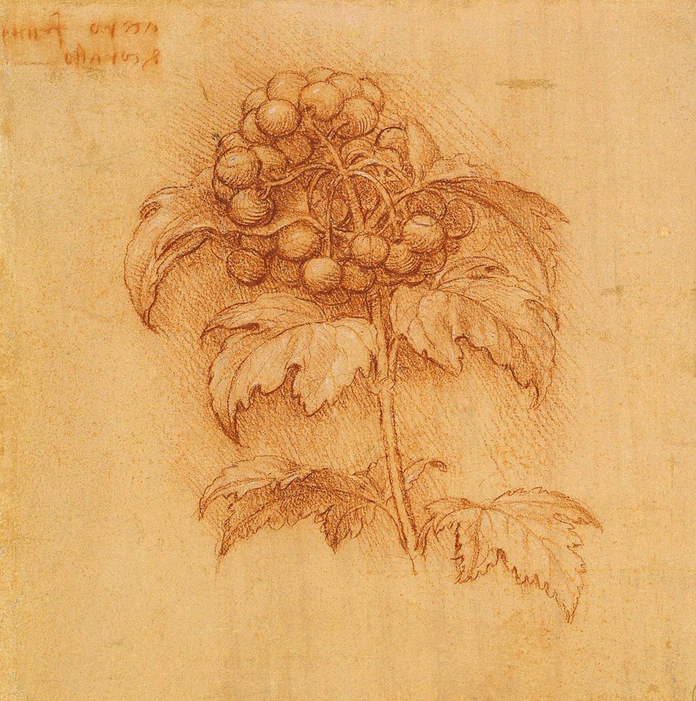 Leonardo da Vinci - Drawings - Plants - 14.jpg