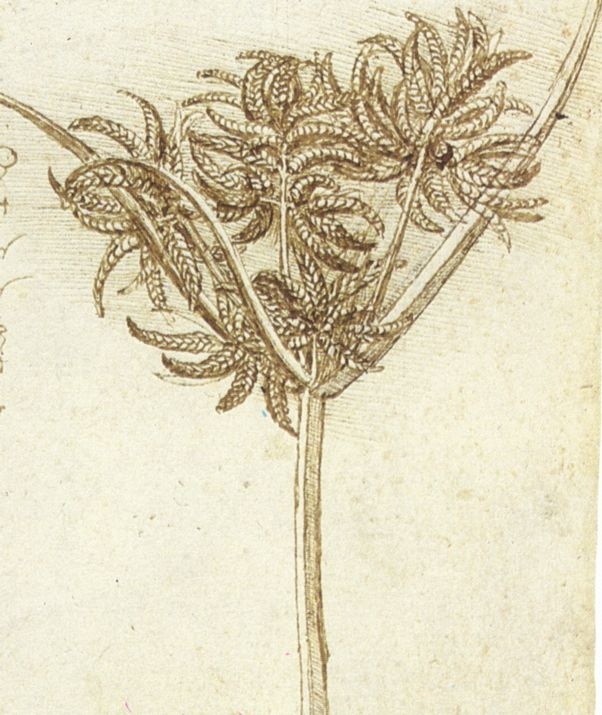 Contour Line Drawing Leonardo Da Vinci : Drawing plants discovering da vinci