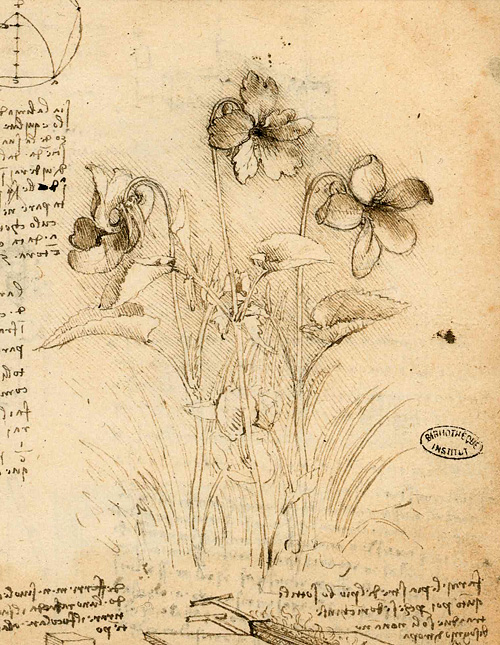 Leonardo da Vinci - Drawings - Plants - 18.jpg