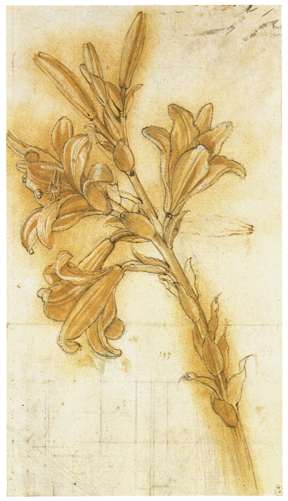 Leonardo da Vinci - Drawings - Plants - 01.JPG