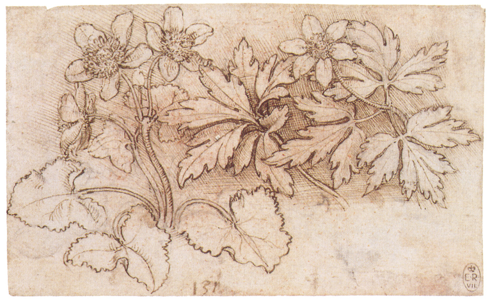 Leonardo da Vinci - Drawings - Plants - 04.JPG