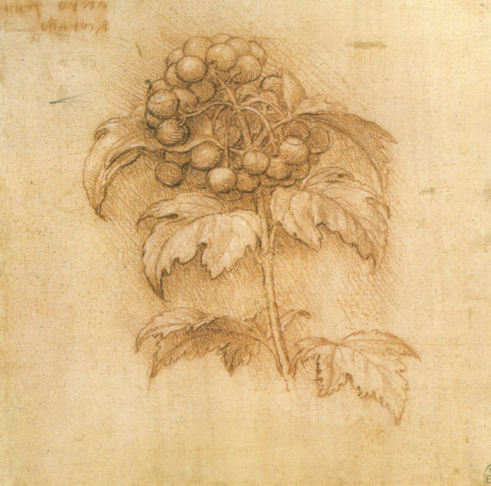 Leonardo da Vinci - Drawings - Plants - 06.jpg