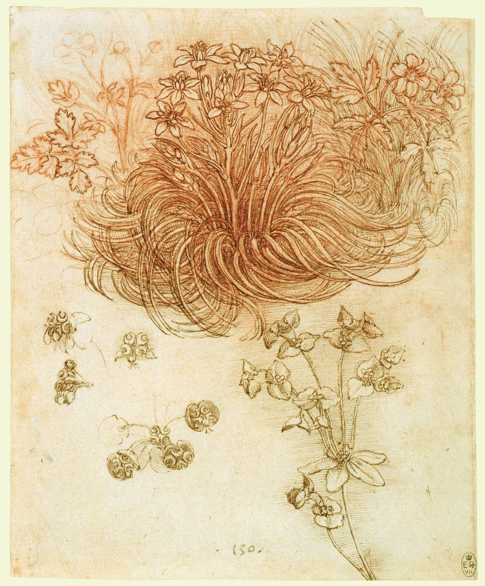 Leonardo da Vinci - Drawings - Plants - 10.jpg