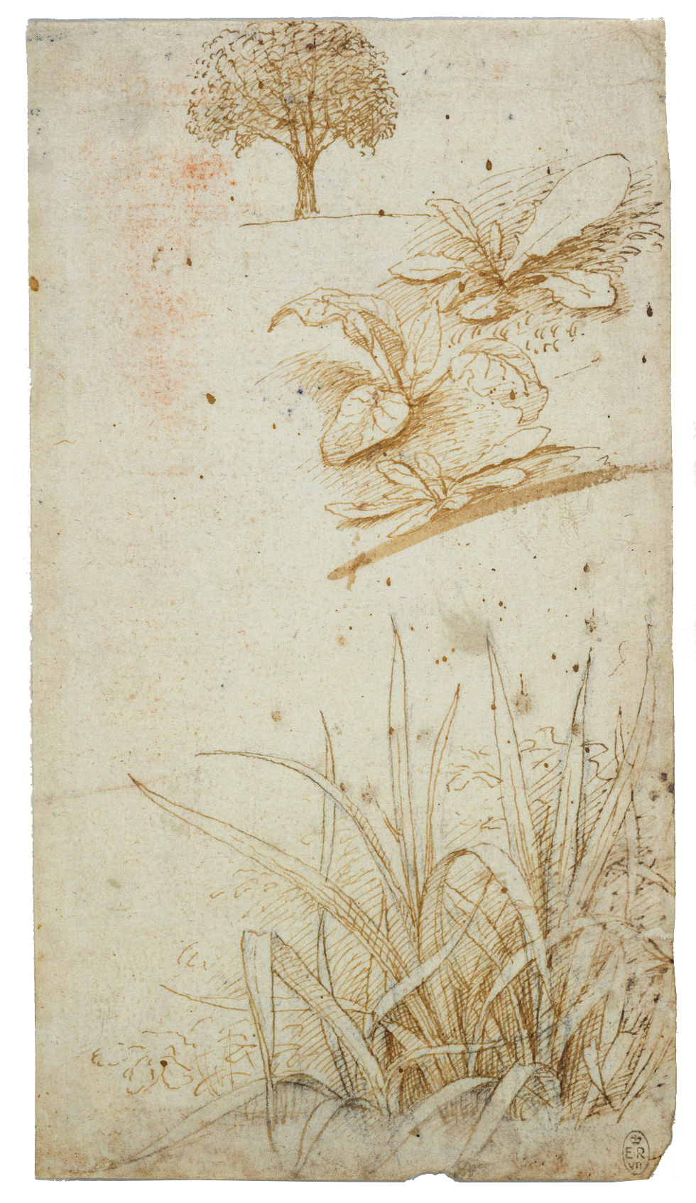 Leonardo da Vinci - Drawings - Plants - 13.jpg