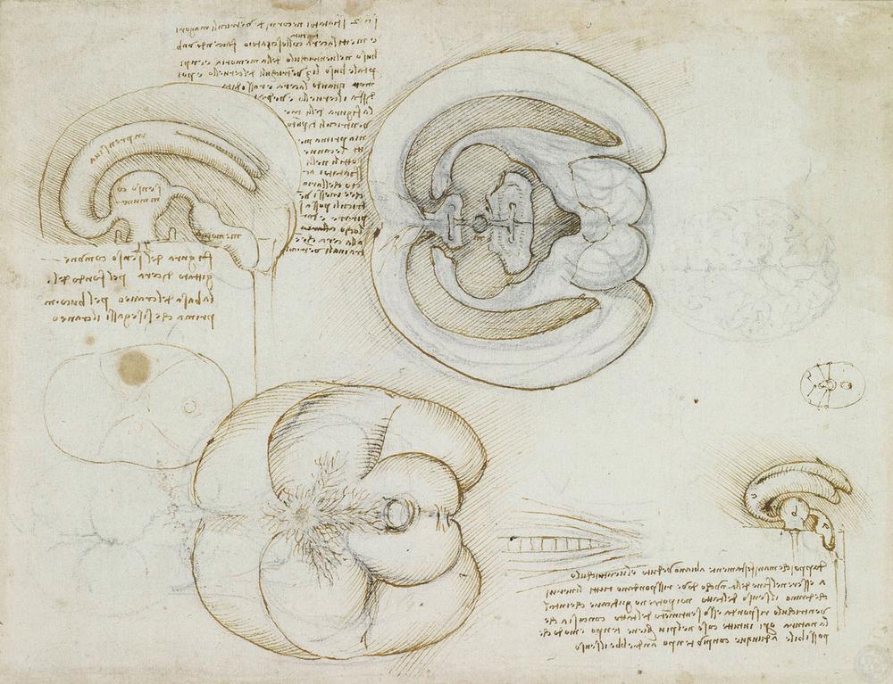 Contour Line Drawing Leonardo Da Vinci : Anatomy u discovering da vinci