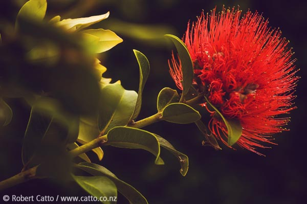 How to make a New Zealander homesick at Christmas: step one, show them a pohutukawa flower.  Step two: no real need for step two.   First bloom of summer '09/10, Nov 28 in Worser Bay.