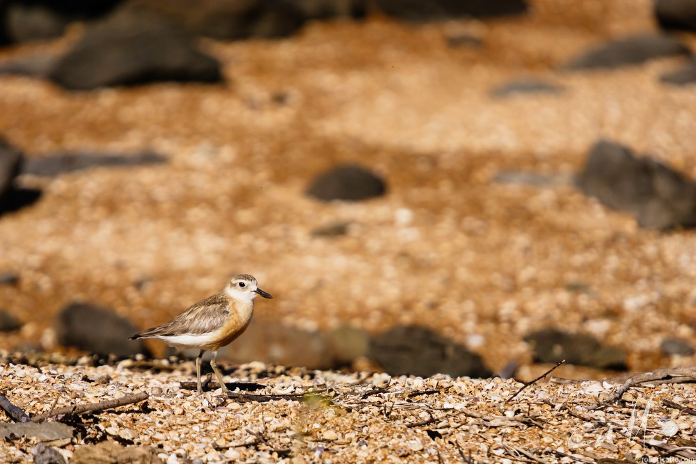 New Zealand dotterel, Northland