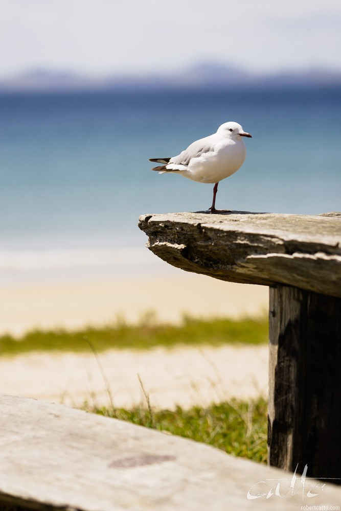 New Zealand seagull on a picnic table, Northland