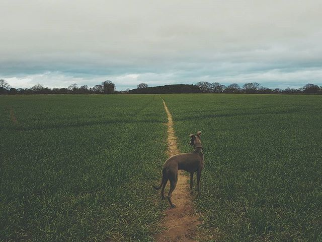 fields of mud turning to green #landscape #wanderlust #nature #landscapephotography #filsonlife #england #naturelover #dogsofinstagram #britain #hibernot #agoodwalk #barbour #gonefishing #wilderness #android #samsung #whippet #yorkshire #harrogate #modernhuntsman #edc #spring