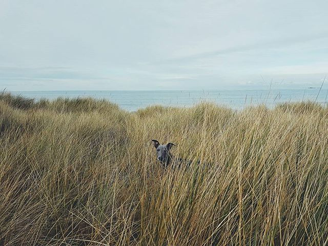 And a small blue donkey.... #landscape #wanderlust #nature #landscapephotography #filsonlife #england #beach #coast #naturelover #tweed #fashion #blueskies #purdey #stetson #beach #wilderness  #dogsofinstagram #britain #hibernot #agoodwalk #gonefishing #coast #android #samsung #whippet #northumberland #bamburgh #whippetsofinstagram #northeast