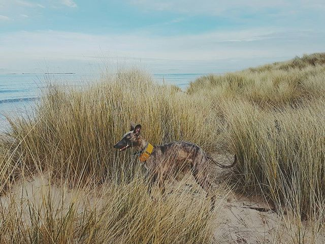 Dune safari - hyena spotted  #landscape #wanderlust #nature #landscapephotography #filsonlife #england #beach #coast #naturelover #tweed #fashion #blueskies #purdey #stetson #beach #wilderness  #dogsofinstagram #britain #hibernot #agoodwalk #gonefishing #coast #android #samsung #whippet #northumberland #bamburgh #whippetsofinstagram #northeast