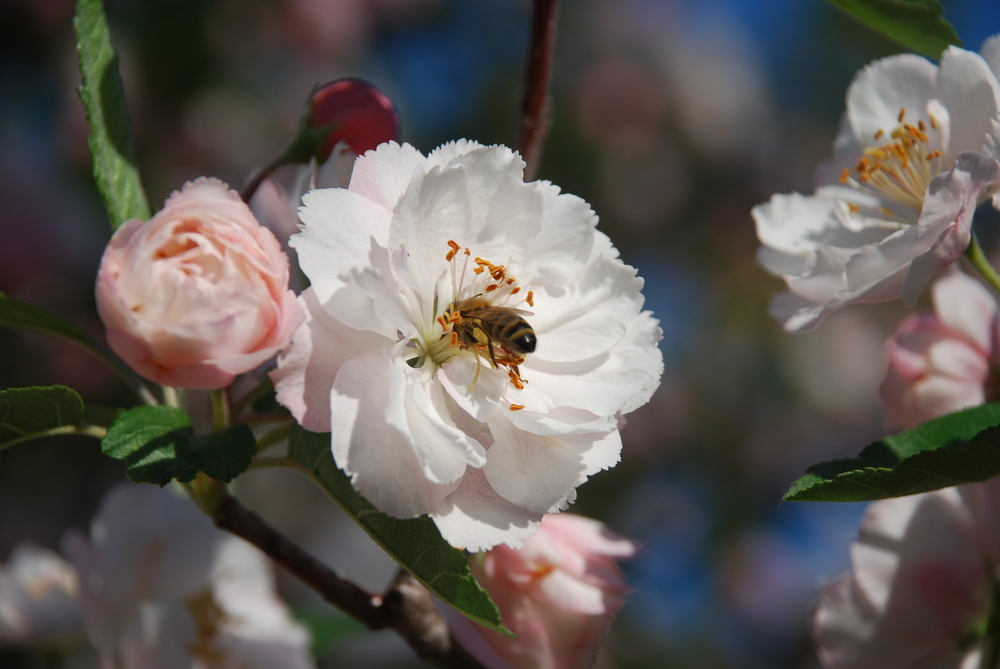 Apple Blossom Bee.jpg
