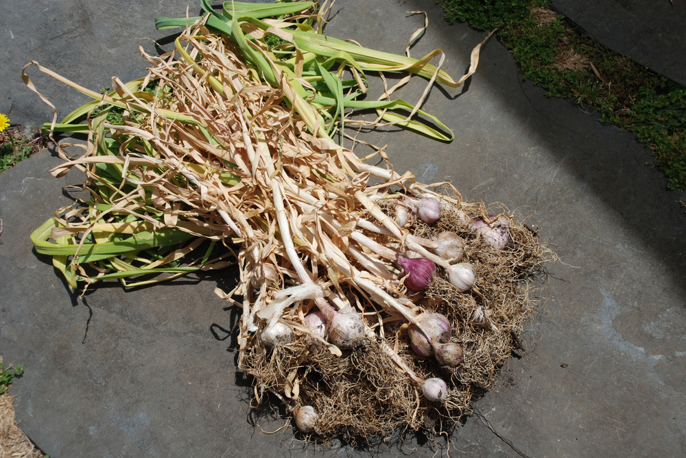 Harvested Garlics.jpg