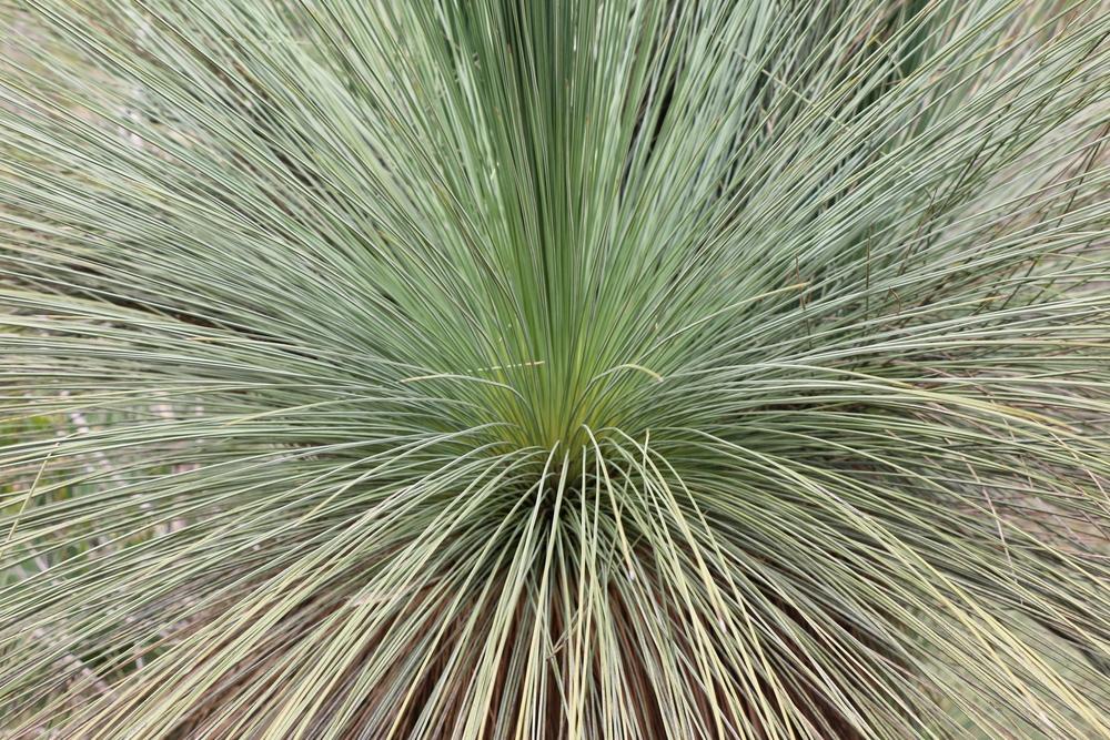 Native Grasstree (Xanthorrhoea)