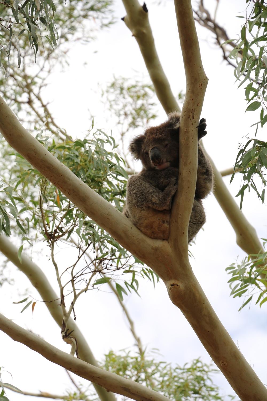 Mr Cool Koala
