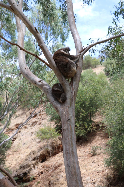 Mumma and Child Koala