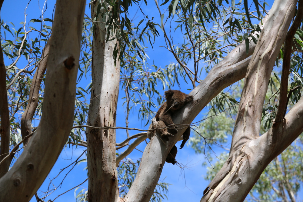 Mr Hungover Koala