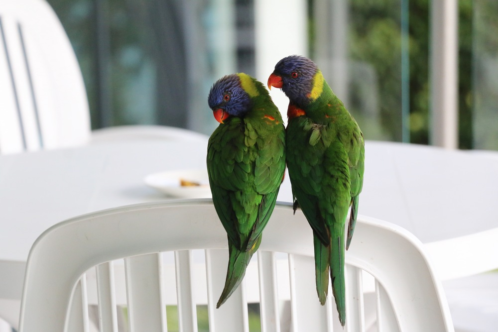 Lorikeet Love.jpg