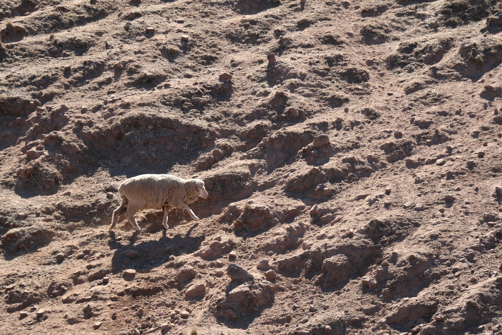 Baked Earth and Lone Sheep.jpg