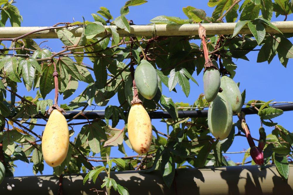 Banana Passionfruit.jpg