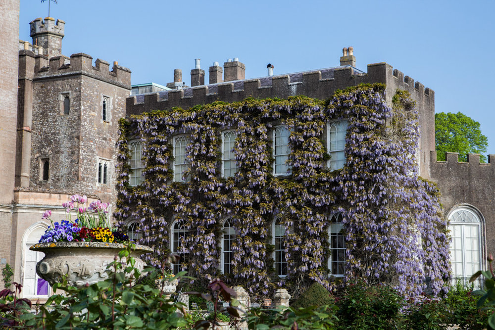 wisteria walls at powderham castle