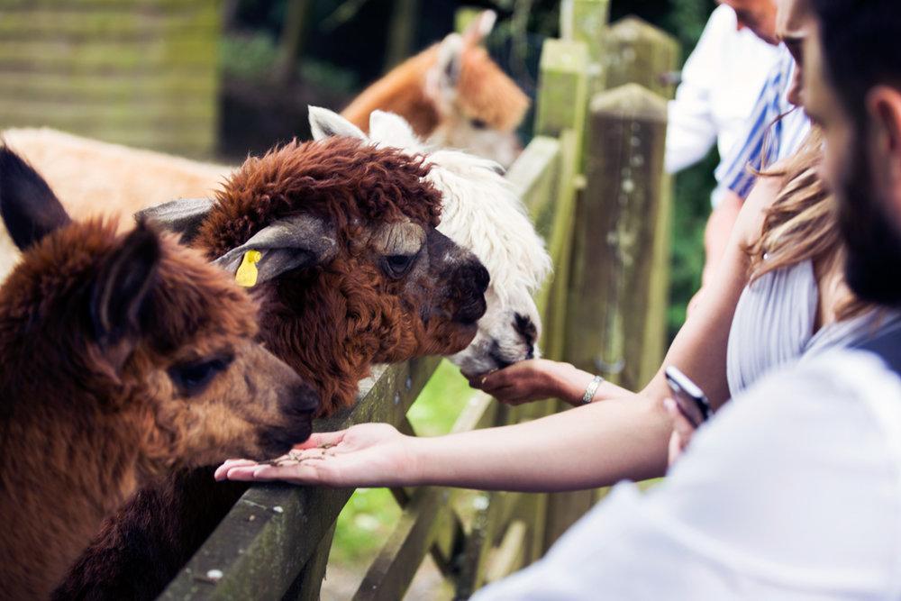 feeding Alpaca