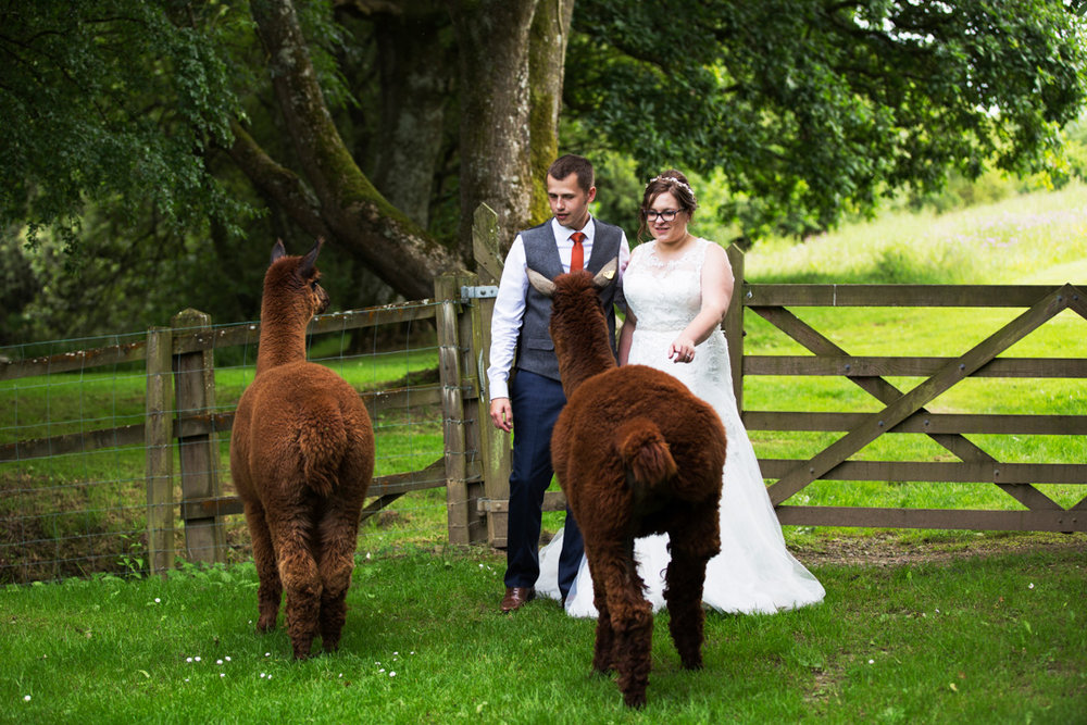 bride and groom meet Alpaca