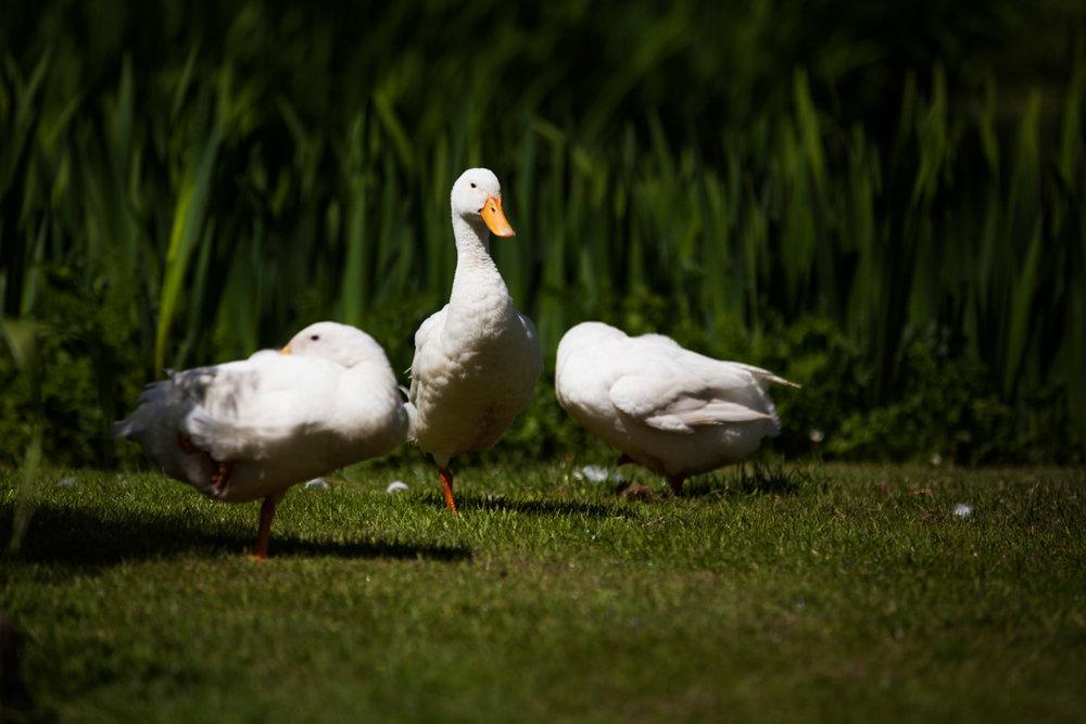 Millbrook ducks