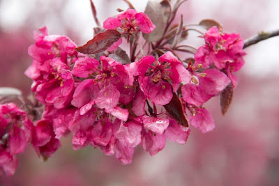 Pink Profusion Crab Apple blossoms - photo by Charlet