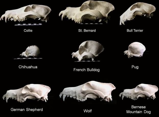 The amazing variation of skull shapes in dogs!