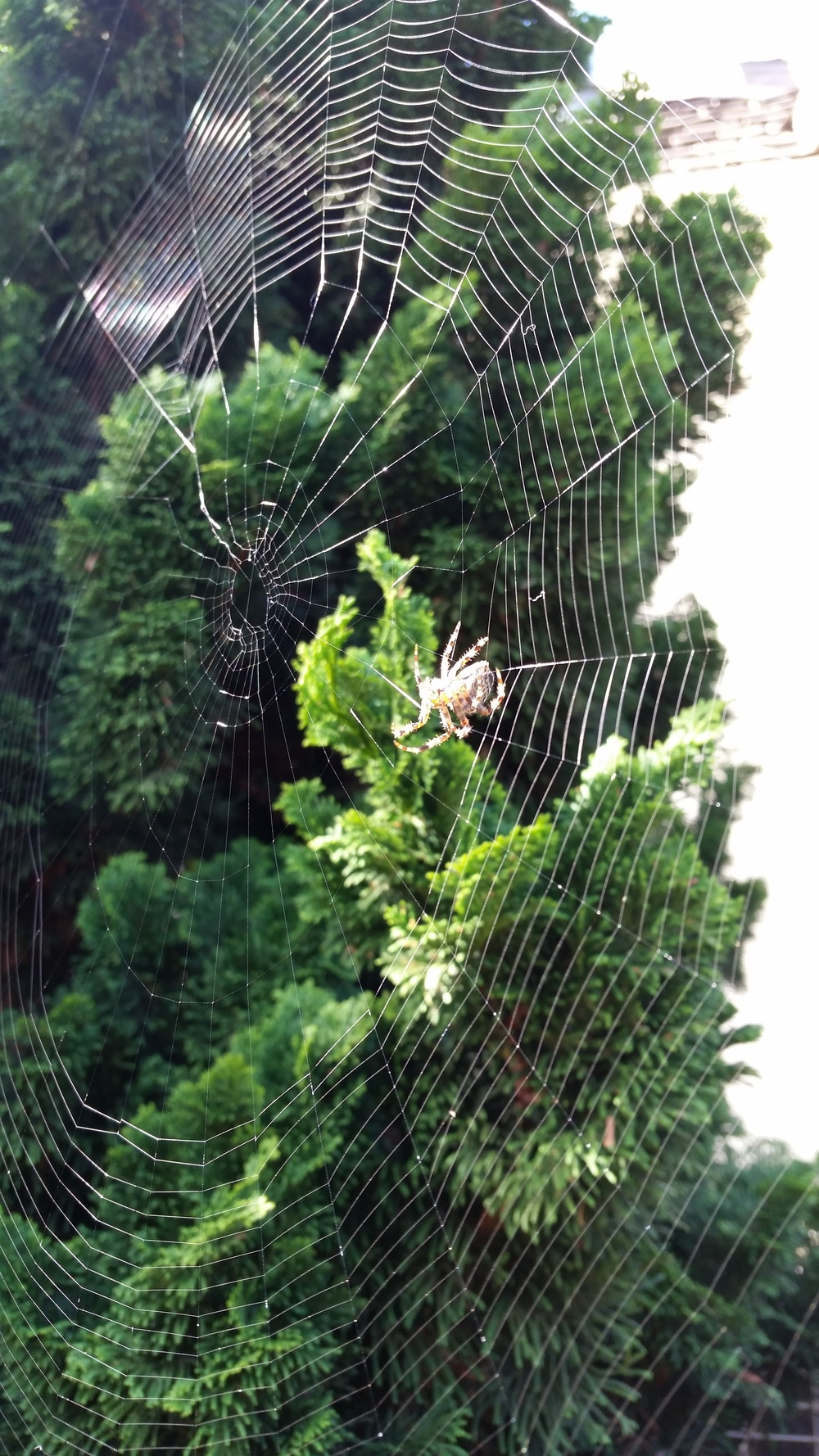 A spider making a web on my daily walk to class.