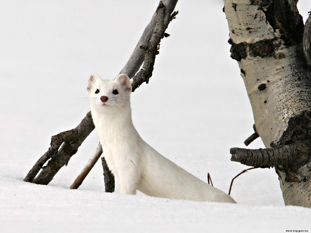 Ermine-background-wallpaper.jpg