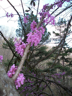 redbud tree, eastern kentucky, redbud winter, dogwood winter, appalachia