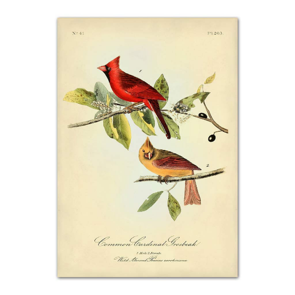 Common Cardinal Grosbeak, by John James Audubon.