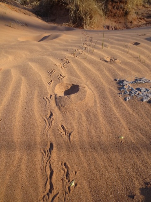 Hiking around in the morning, there were all kinds of tracks in the wash.  Coyote, birds, various small rodents, even insects.  These, though, I couldn't figure out.  Lizard?