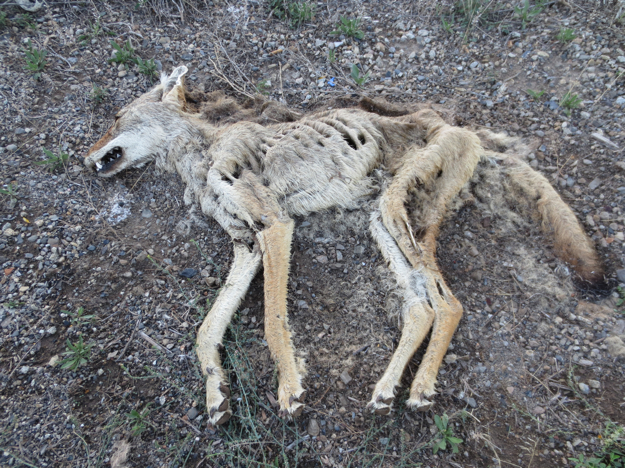 Speaking of the dead... poor coyote.  No one will even give him the dignity of being eaten.