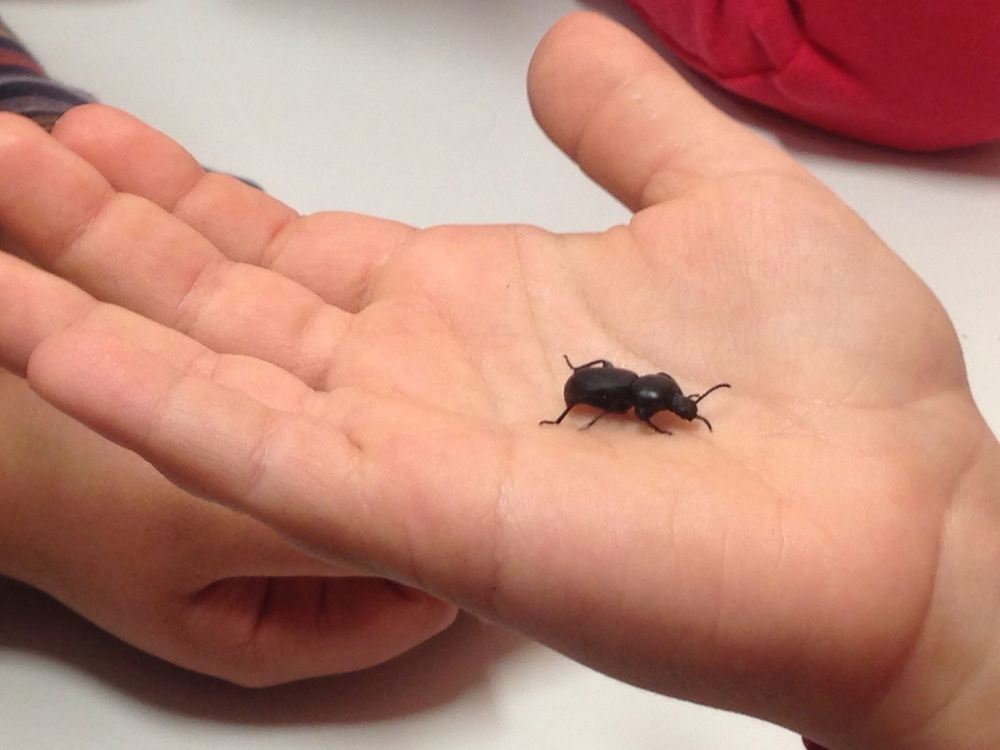 Also seen at school, my little student who brings bugs with him. The day before he found a wasp at recess and put it in a bag, which he proceeded to carry around during gym class. This little beetle was let loose during English class.
