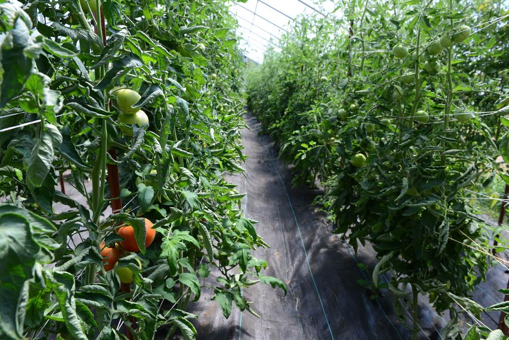 Tomato tunnel