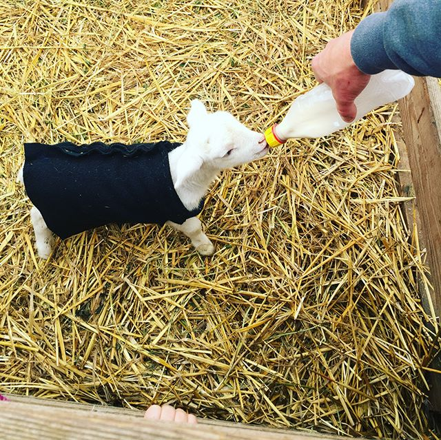"This is one of the reasons we homeschool- because we get to do things like this together and learn in a real world environment. This past weekend the kids and I went to visit this year's lambs at my brother's farm. This little guy is ""Tiny""- an orphan lamb who came too early (he's 2 weeks old but was only the size of a pop can when he was born) and his mama didn't make it. Each of the kids got to feed, pet, and play with him- and we got to talk about (and see the aftermath) of birth and death of farm animals in a real way, with someone who knows it first hand. . I'm a firm believer that overprotecting our children from the realities of life- pain, joy, and all the places in between, does them a huge disservice. And I'm so grateful that we have this opportunity. . #mondaythoughts #homeschoolmom #raisingstrongkids #farmlife #realworldhomeschool #babylamb #intentionalparenting #oregonspring #homeschoolfieldtrip #livinghomeschool #gratefulheart #theydontneedanotherworksheet"