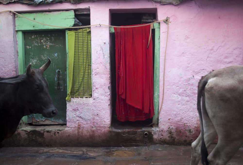 Cows, Varanasi         photo copyright : Russell Shakespeare 2015