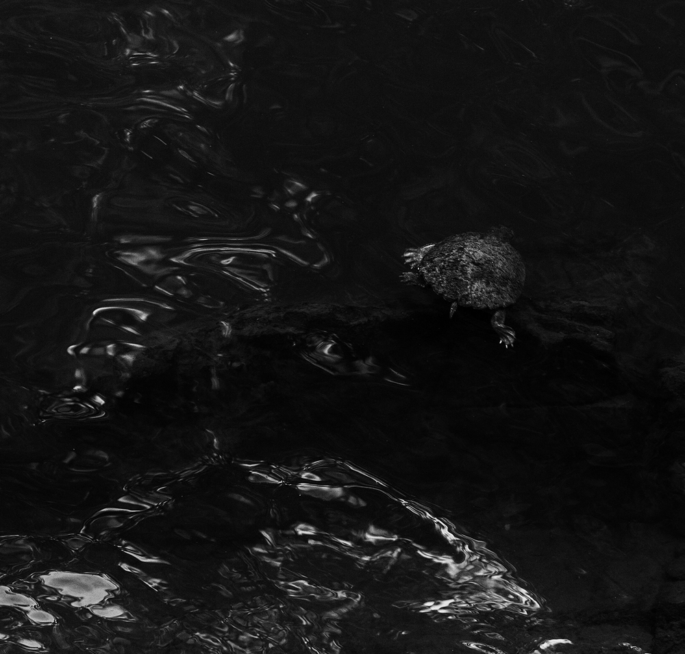 """Turtle, Currumbin Valley Rock Pools""     © Russell Shakespeare 2016"
