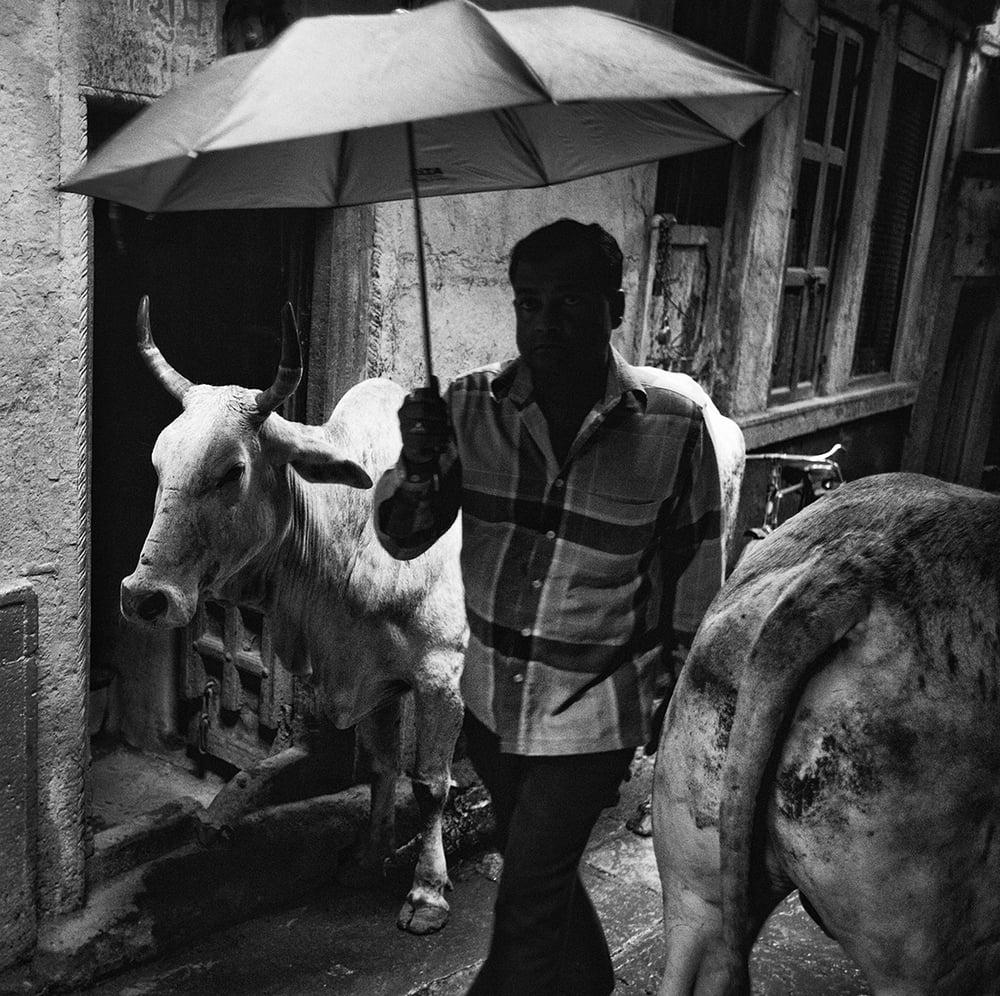 """""""Varanasi Cows""""                             © Russell Shakespeare 2015"""