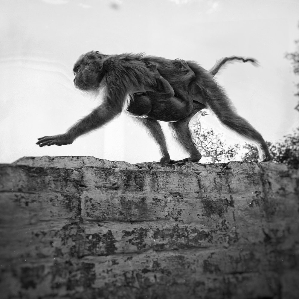 """Varanasi Monkeys""                                                              © Russell Shakespeare 2015"