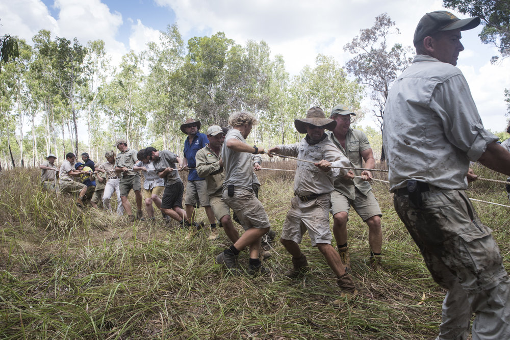 Crocodile Team all helping to pull the 15.5foot crocodile (which is in a water trap) onto land. The Steve Irwin Wildlife Reserve. © Russell Shakespeare/Australia Zoo 2018